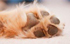 Enfermedades en las almohadillas de los perros