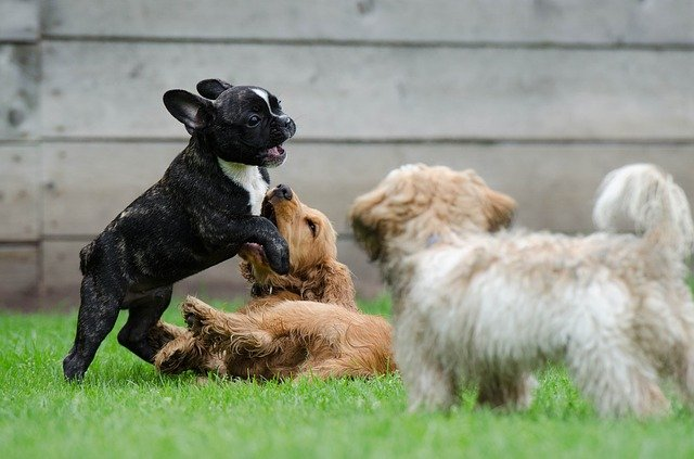 10 razze canine che amano socializzare, quali sono?