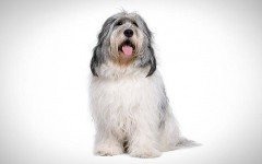 Dog Breed: dog Polish Lowland Sheepdog Characteristics