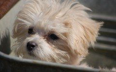 malattie del cane barboncino