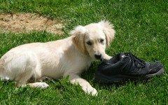 Cani che mangiano panni sporchi, perché lo fanno?