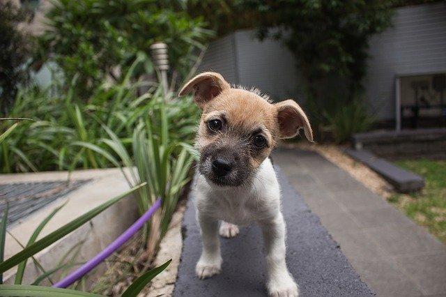 Il cane inclina la testa quando avverte un suono, perché?