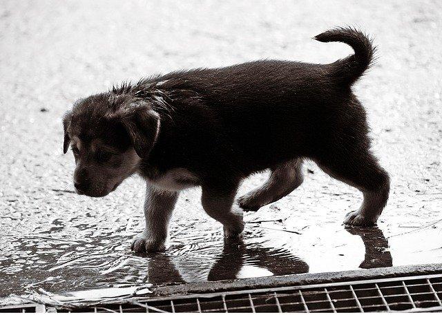 cani non amano la pioggia