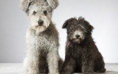Razas de Perro: Perro Pumi caracteristicas y cuidados