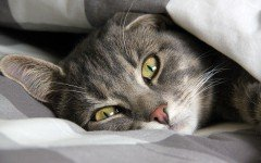 Enfermedades de los Gatos: Panleucopenia felina sintomas