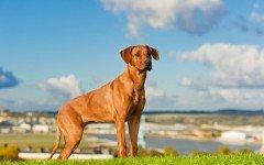 Razas de Perros: perro Rhodesian Ridgeback caracteristicas