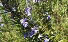 Rosmarino: i benefici di questa pianta per gli animali