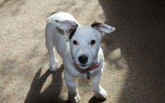 Il cortisone può modificare il comportamento del cane