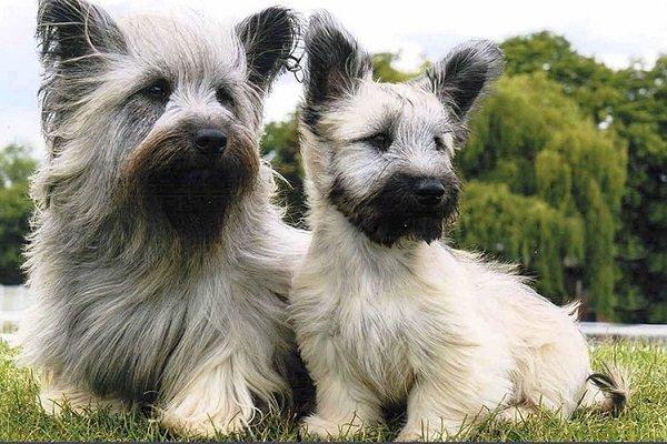 Razas de Perros: perro Skye Terrier caracteristicas