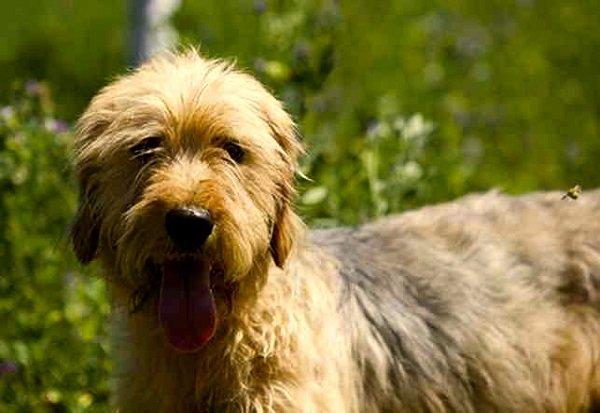 Rzas de Perros: Sabueso bosnio caracteristcas y cuidados