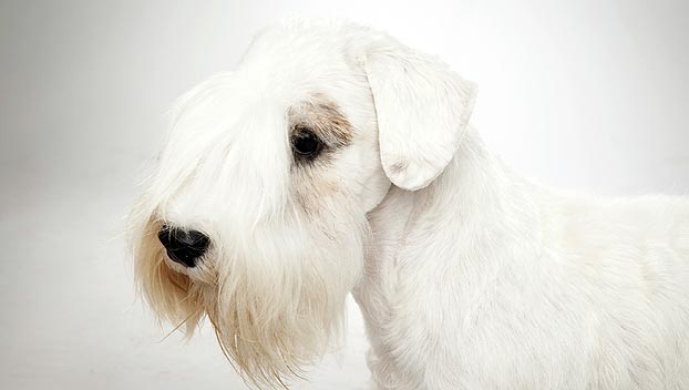 Razas de Perros: perro Sealyham Terrier caracteristicas