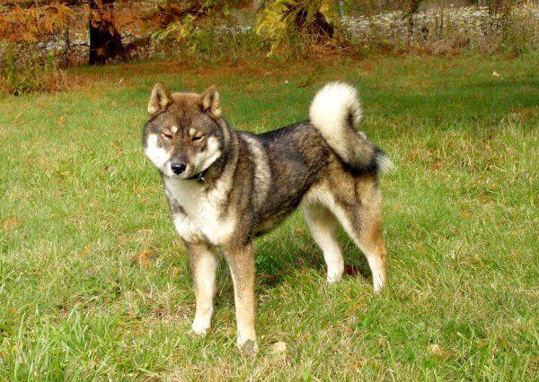 Razas de Perros: perro Shikoku Inu cracteristicas y cuidados