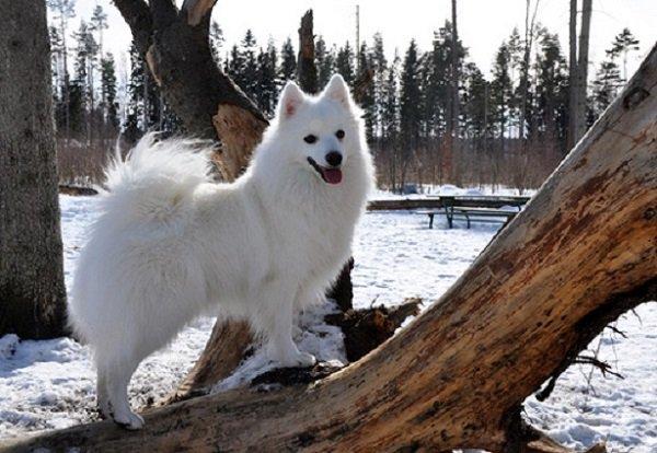 Razas de Perros: perro Spitz japones caracteristicas y cuidados