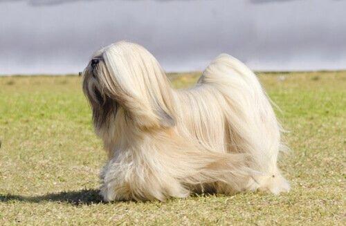 Razas de Perros: perro Terrier Tibetano caracteristicas