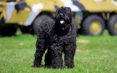 Razas de Perros: perro Terrier Ruso Negro caracteristicas