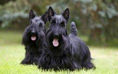 perro Terrier Escocés