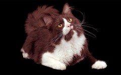 Razas de Gatos: Gatos York chocolate caracteristicas