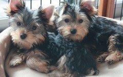 Alimentazione del cane yorkshire terrier