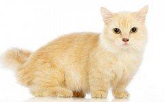 Gatos enanos: el enanismo en los gatos
