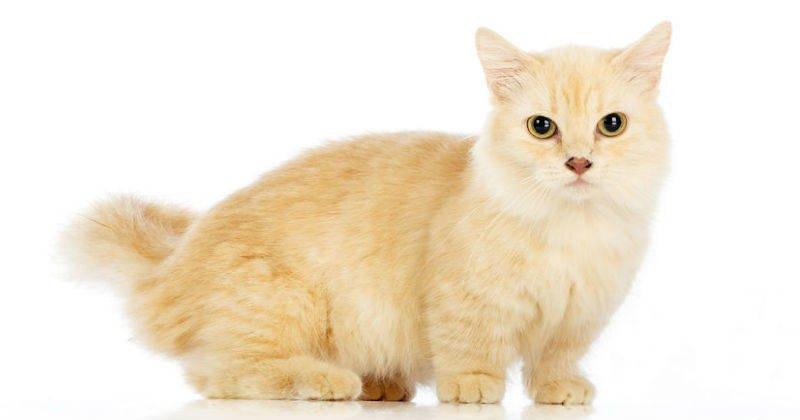 Gatos enanos el enanismo en los gatos dogalize - Fundas para unas de gato ...