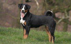 Razze cani: bovaro dell'Appenzell carattere e caratteristiche
