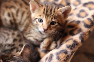 Cuccioli di gatto Savannah, caratteristiche e prezzo