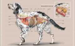 Anatomía Perro: toda la anatomia canina