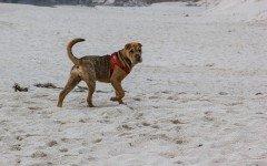 Malattie del cane Shar Pei: le patologie più comuni della razza