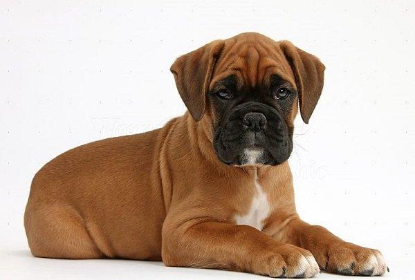 Boxer cachorro: caracteristicas y personalidad