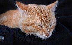 Trasfusioni di sangue nel gatto: le caratteristiche del donatore