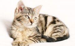 Polimiosite idiopatica felina
