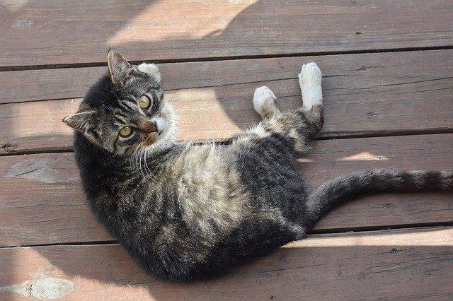 Coda da stallone nel gatto: cause, sintomi e terapia