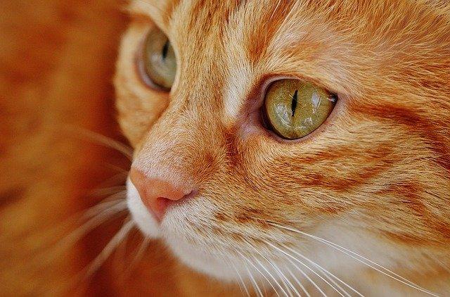 Ipervitaminosi A nel gatto: cause, sintomi e terapia