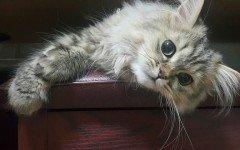 alimentazione del gatto persiano
