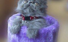 Gatto persiano blu: origini, carattere e caratteristiche