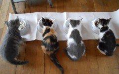 alimentazione del gatto castrato