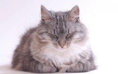 Gatto soriano pelo lungo, caratteristiche e prezzo
