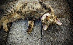 Alimentazione del gatto sterilizzato, meno calorica