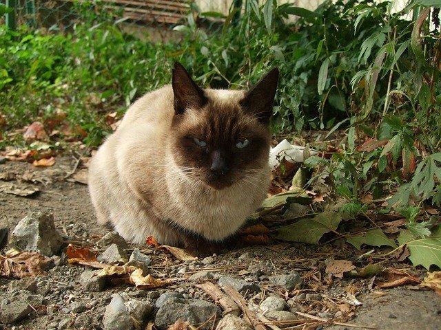 Colangioepatite nel gatto: sintomi e cura
