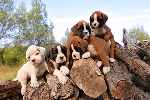 Cachorro Bóxer: Cómo adiestrar cachorros Bóxer