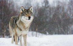 El lobo Europeo: historia y caracteristicas fisicas