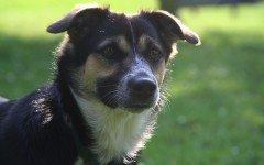 Meningoencefalite granulomatosa nel cane: sintomi e terapia