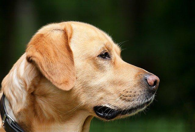 Malattie del cane Labrador: scopriamo quali sono le più comuni