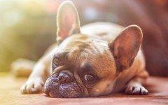 Enfermedades de los Perros: Mastitis en perros sintomas