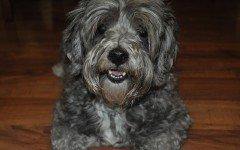 Malattie batteriche del cane: cause e sintomi
