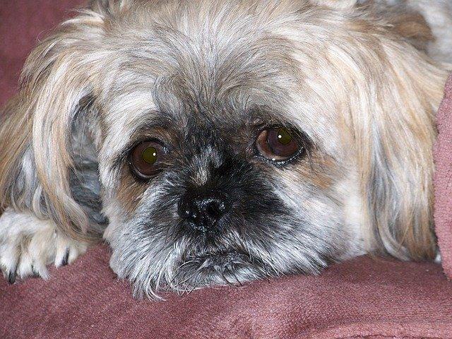 Ictus nel cane: sintomi e come intervenire