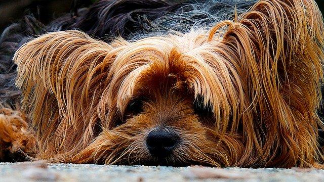 malattie del cane yorkshire