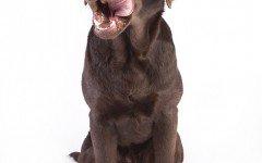 Cómo alimentar a un perro labrador: consejos