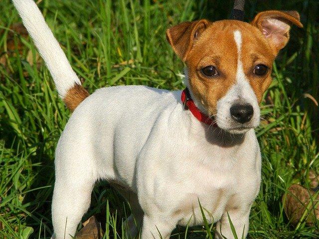 Ipoparatiroidismo nel cane: cause, sintomi, diagnosi e terapia