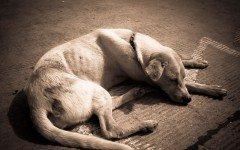 Cómo alimentar a un perro desnutrido: consejos